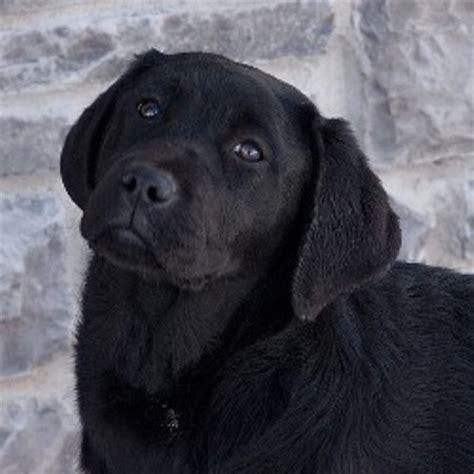 lab puppies iowa ironhill retrievers labradors labrador retriever breeder in maquoketa iowa