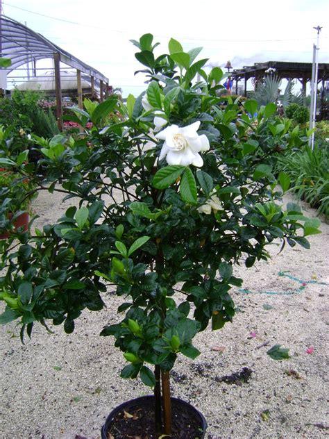 buy gardenias  sale  miami ft lauderdale