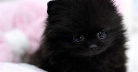black teddy pomeranian puppies teacup pomeranian puppy cutee animals teacup pomeranian puppy and