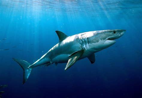 imagenes sorprendentes tiburones buenas noticias aumentan los tiburones blancos surfer