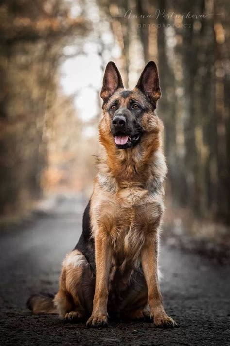 le berger near me 17 best images about german shepherds on