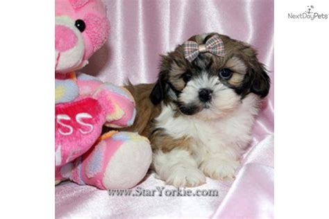 white teacup shih tzu puppies free teacup shih tzu puppies