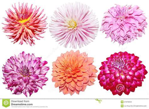 Set Dahlia set of dahlia stock images image 21919234