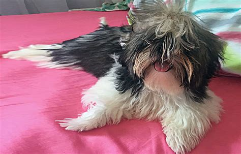 how to get your shih tzu de matted shih tzu
