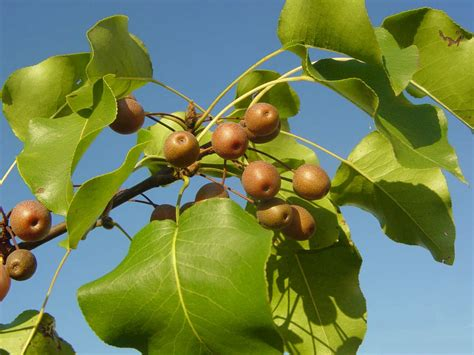 Bibit Buah Pear Asia avoid invasive plants jersey friendly yards