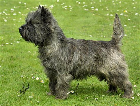 brindle cairn haircut the dog in world cairn terrier dogs