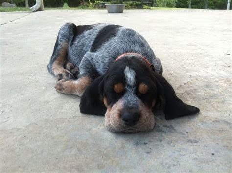 bluetick puppy blue tick guess the breed clinic fb page pictures bluetick