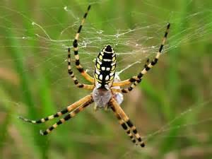Garden Spider Scientific Name Argiope Aurantia Black And Yellow Garden Spider