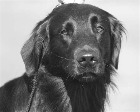 complete flat coated retriever the 0851154638 1000 images about flat coated retrievers on