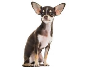 adopter un chihuahua annonces chihuahua 224 donner