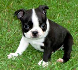 boston terrier colors boston mania desireable colors of a boston terrier