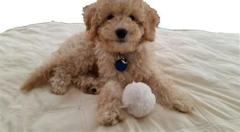 mini labradoodles raleigh nc bringing puppy home