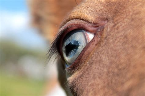 equine color calculator blue eye of a chagne foal color genetics
