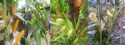 Benih Jagung Komposit tani makmur sejahtera agar jagung bertongkol banyak