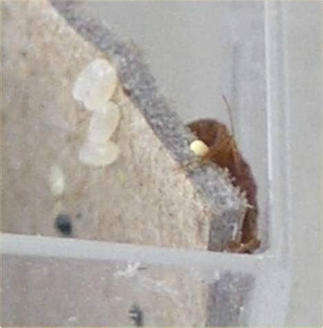 bed bug identification signs  pictures