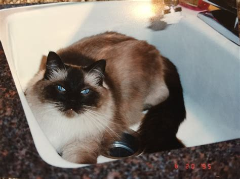Ragdoll Cat Shedding by Where Do Ragdoll Cats Originate From