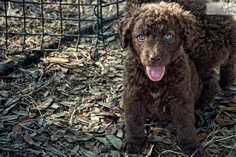 chesapeake puppies for sale akc chesapeake bay retriever puppies chesapeake bay retriever for breeds picture