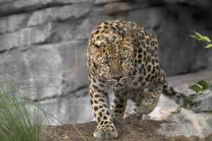 Jaguar Of Rock Amur Leopard San Diego Zoo Flickr