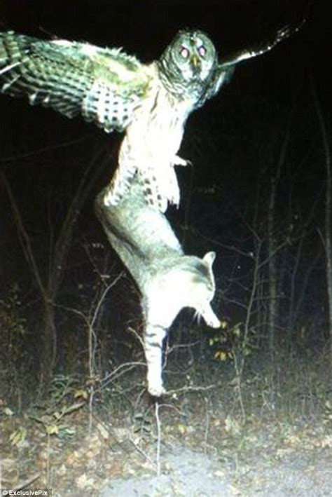 How Does The Moon Get Its Light Pictured The Astonishing Moment A Barred Owl Snatched Up