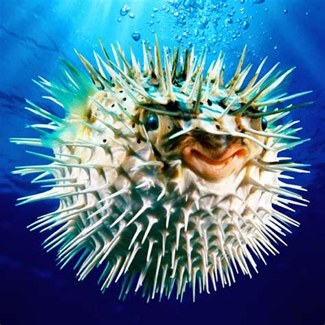 puffer fish 10 interesting puffer fish facts in fact collaborative