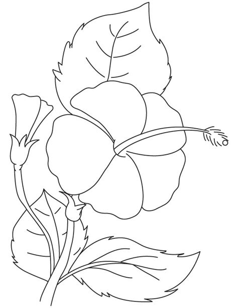 gumamela flower coloring page pin hibiscus coloring pages on pinterest