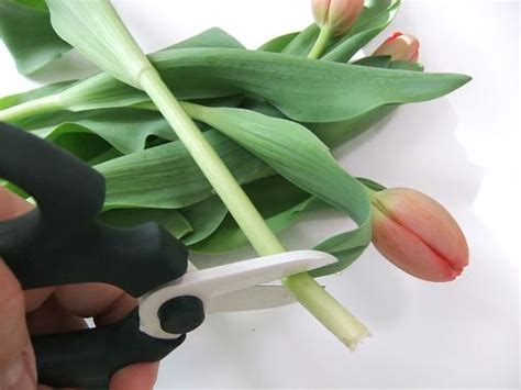 tutorials where to cut tulips to condition