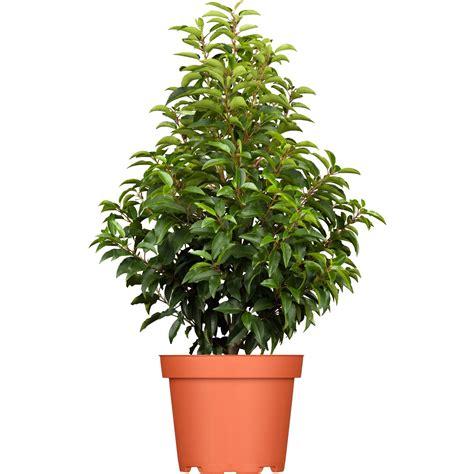 portugiesischer kirschlorbeer portugiesischer kirschlorbeer quot angustifolia quot h 246 he ca 40