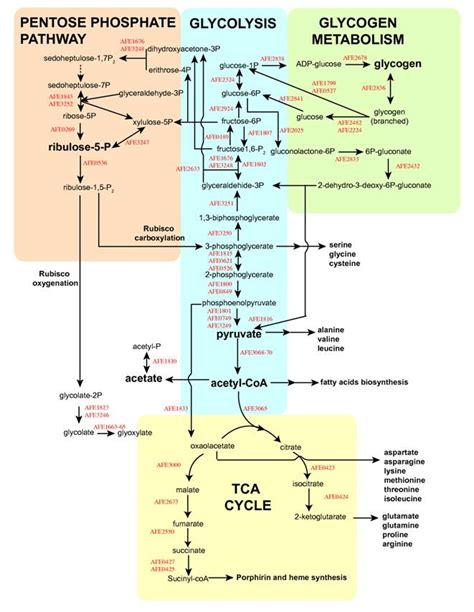 lipid metabolism diagram cellular respiration diagram with carbohydrates lipids