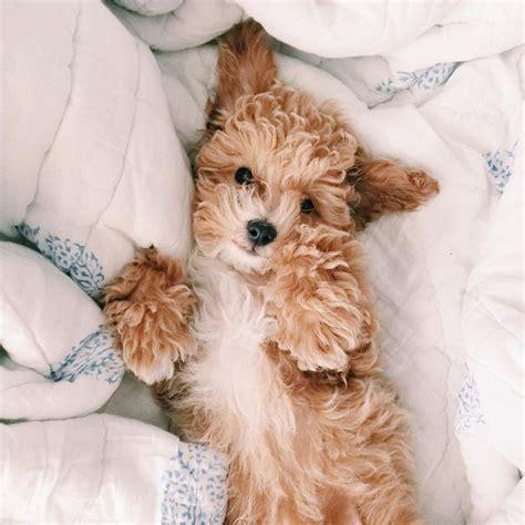 goldendoodle puppy breathing fast 34 best pet images on goldendoodles