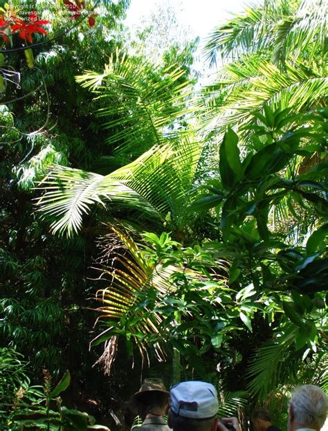 hardest plant to grow plantfiles pictures cabada palm dypsis cabadae by palmbob