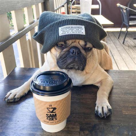 doug the pug instagram meet doug the pug one of the most cutest dogs of instagram 14 pics picsdoor