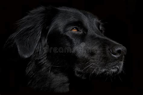 cute black dog face wallpaper   dark background stock
