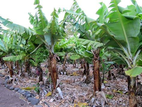pianta di banano in vaso banano piante da giardino pianta di banano