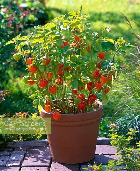 Physalis En Pot gap gardens physalis alkekengi franchetii in terracotta