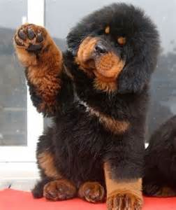 tibetan mastiff puppy price 25 best ideas about tibetan mastiff puppy price on tibetan mastiff