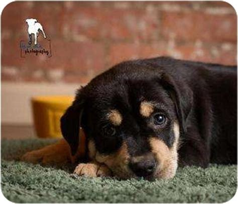bullmastiff rottweiler mix puppies for sale rottweiler mastiff mix puppies for sale