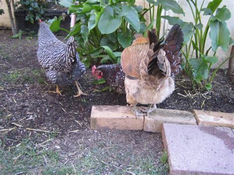 chickenkate17 s member page backyard chickens community