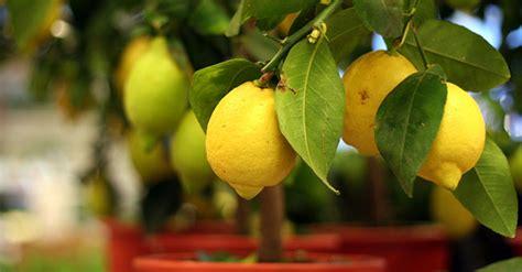 albero limoni in vaso albero di limone coltivazione e cura greenstyle
