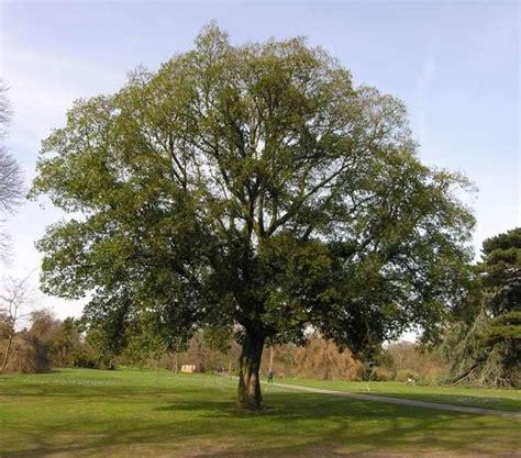 alberi da giardino sempreverdi da ombra alberi da ombra alberi latifolie giardino di alberi