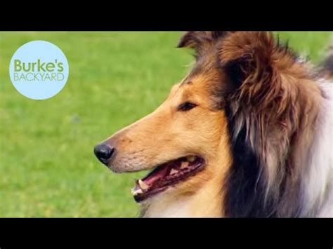 burkes backyard dogs burke s backyard collie dog road test youtube
