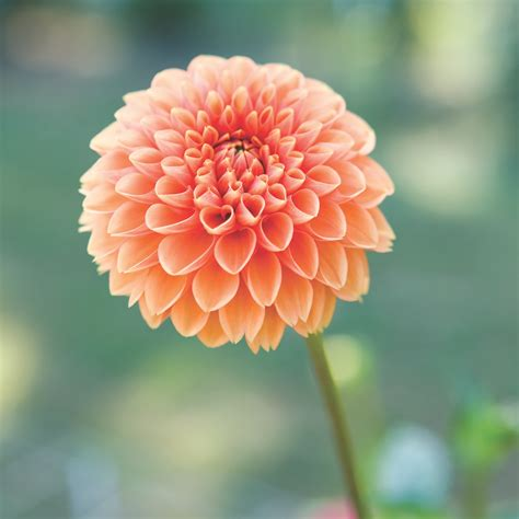 Picture Flowers flowers dahlia flowers ideas for review