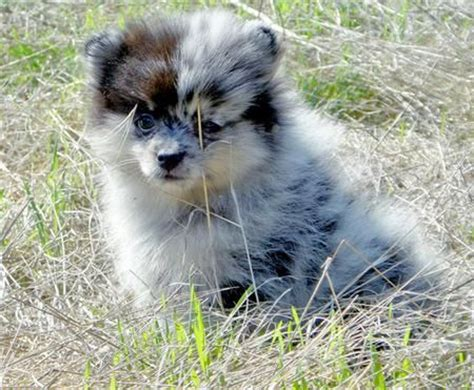 pomeranian puppy tips 25 best ideas about blue merle pomeranian on blue pomeranian pomeranian