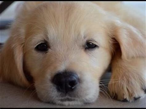 puppies for sale modesto ca golden retriever puppies for sale near modesto ca photo