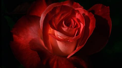 theme red rose download get windows 7 themes for valentine s day