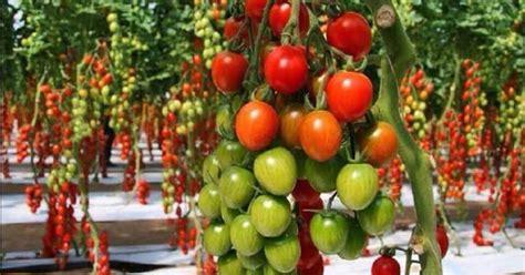 tutorial lengkap  budidaya tomat  baik