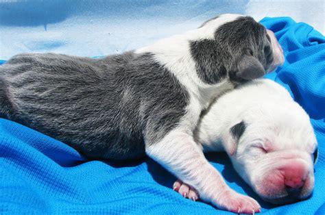 newborn great dane puppies newborn great dane puppies 3 flickr photo