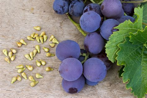 best grape seed grape seed extract benefits how it heals reader s digest