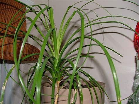 in house plant pony tail palm green thumb pinterest easy house