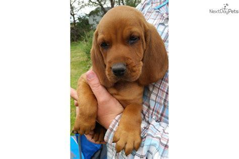 purebred redbone coonhound puppies for sale dan redbone coonhound puppy for sale near platte nebraska cd13027e 6e51