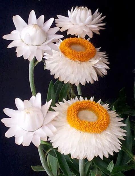 straw flowers petunias flowers pinterest